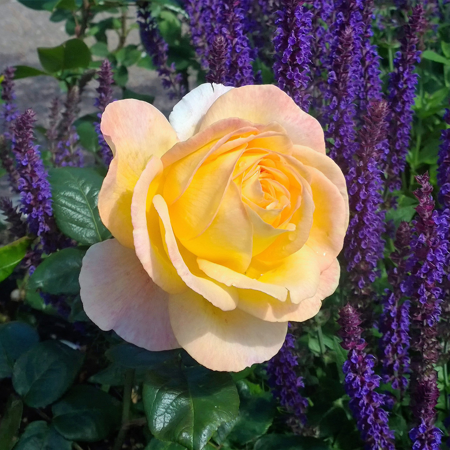 Rosenbegleitstauden
